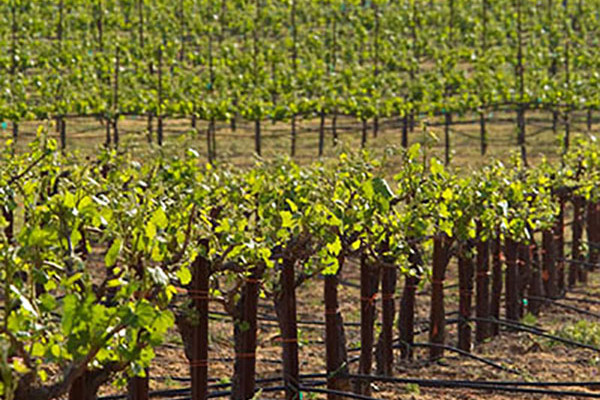 Amador Ridge Vineyard, Amador County